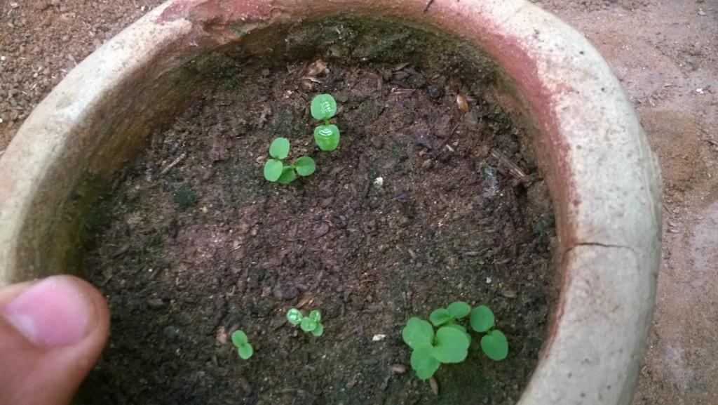 como germinar semente de kiwi em casa