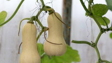 como plantar a abobora butternut