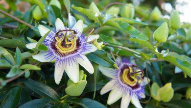 como plantar a flor da paixao