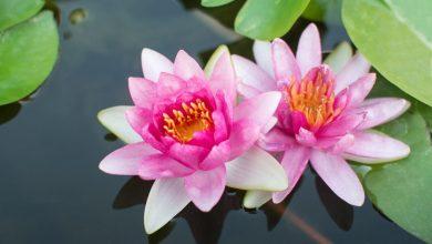 como plantar a flor de lotus