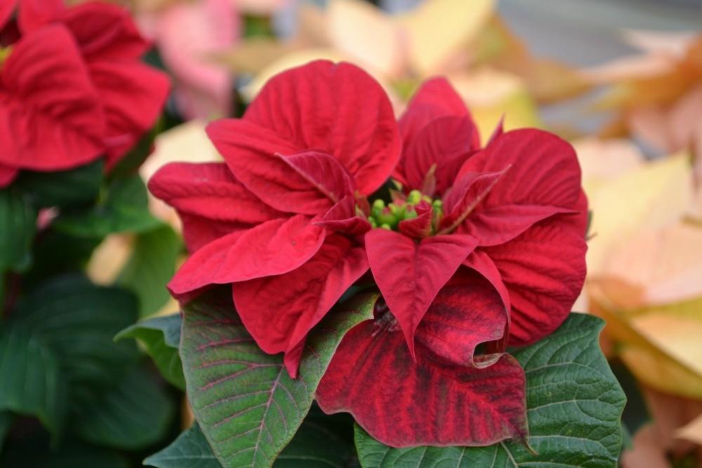 como plantar a flor de natal em casa