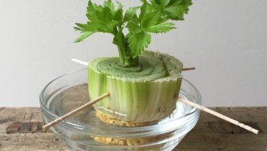 como plantar aipo em casa