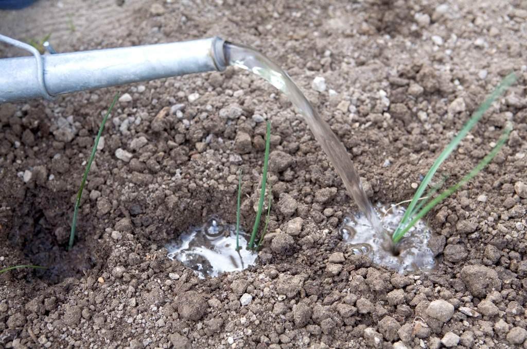 como plantar alho poro em casa