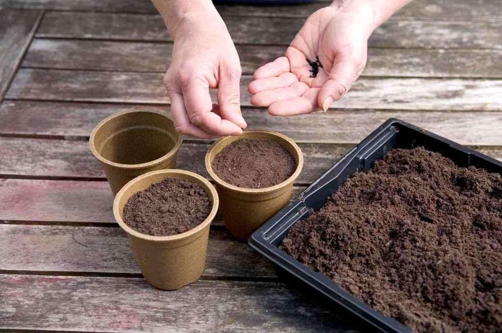 como plantar alho poro