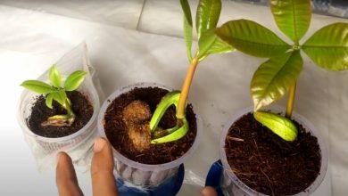como plantar amendoas em casa