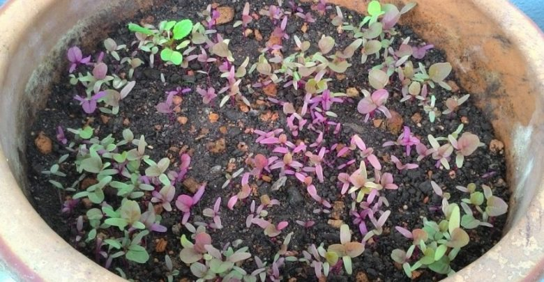 como plantar amaranto em casa