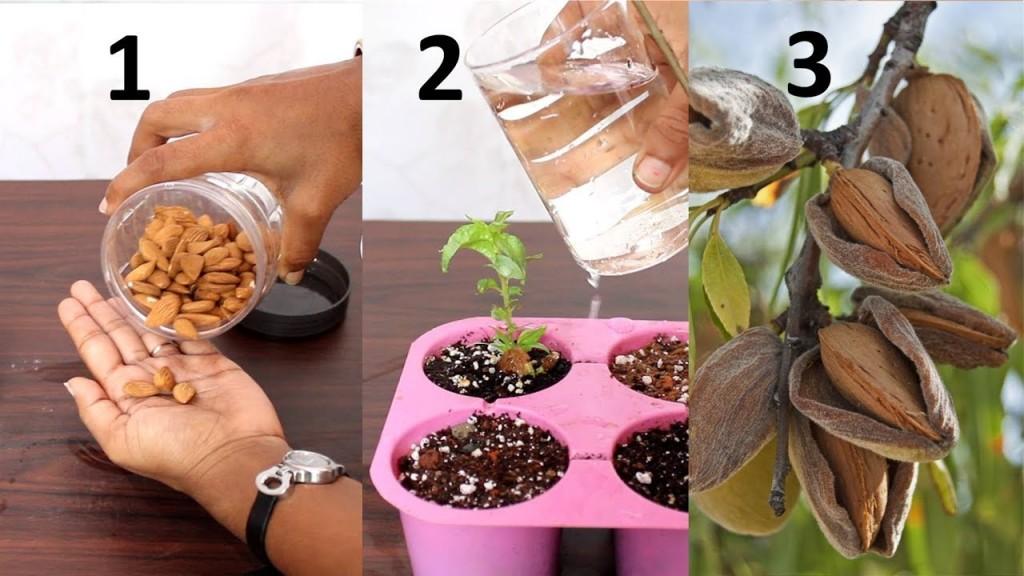 como plantar amendoa