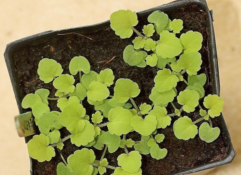 como plantar anis estrelado em casa