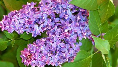 como plantar arbustos lilas