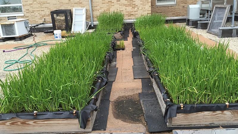 como plantar arroz em casa