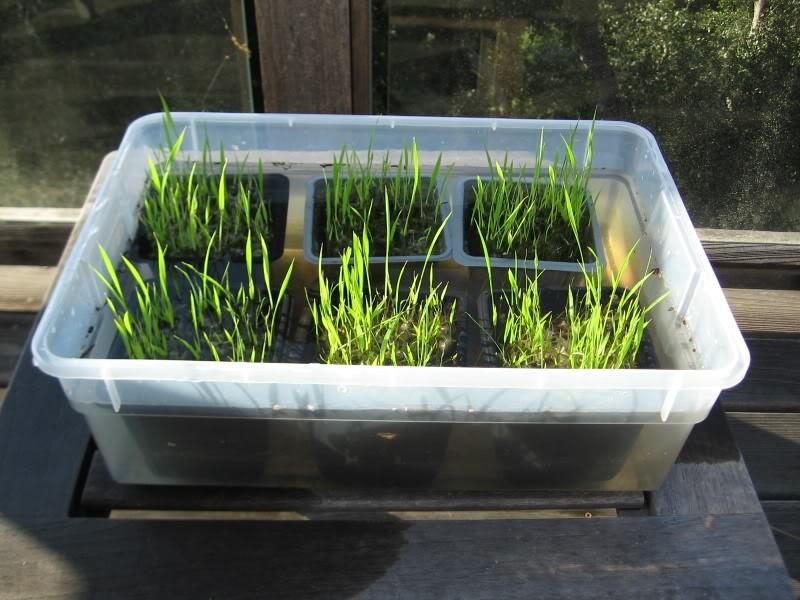 como plantar arroz