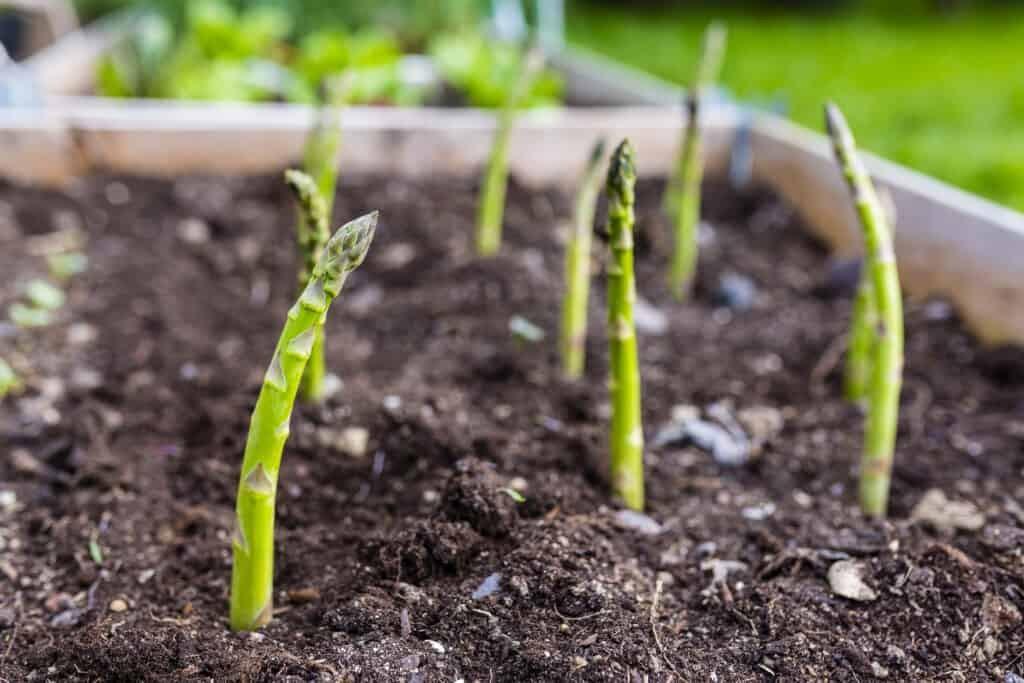 como plantar aspargos em casa