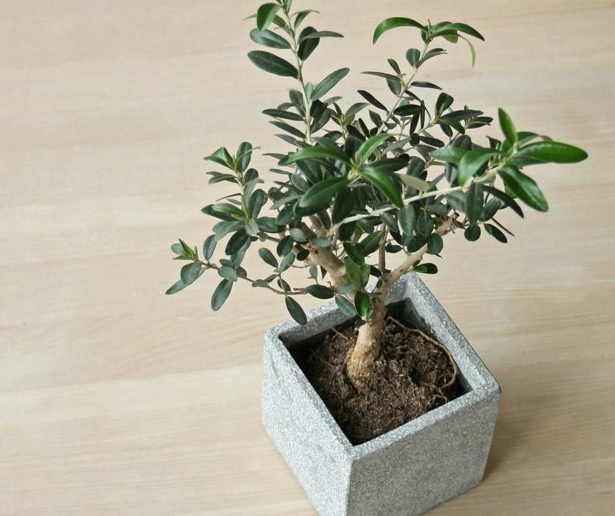como plantar azeitona em casa