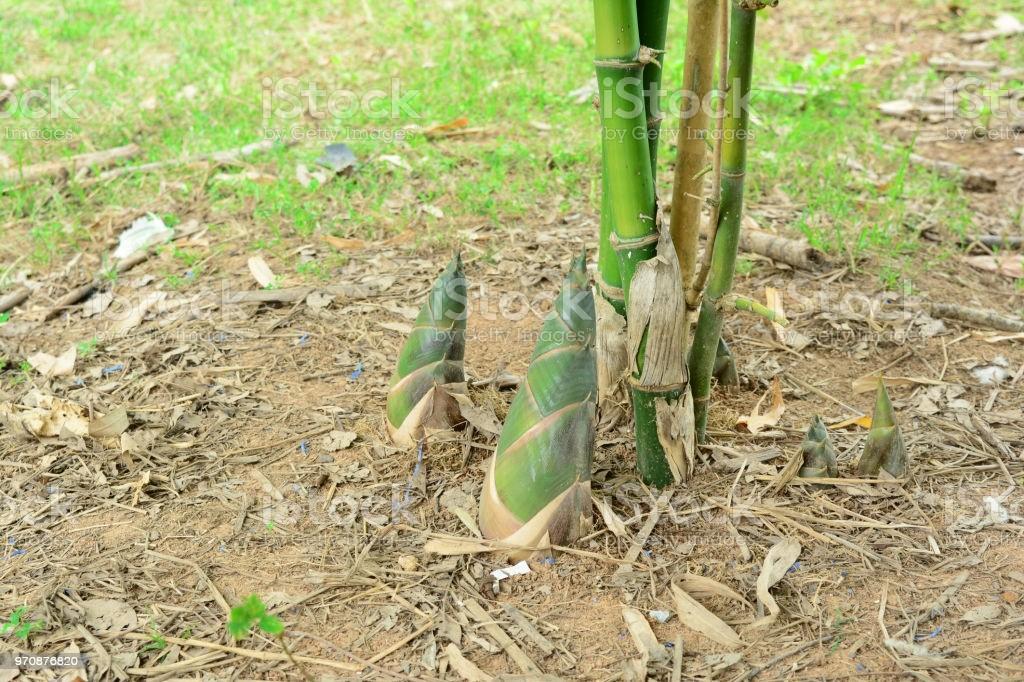 como plantar bambu (2)