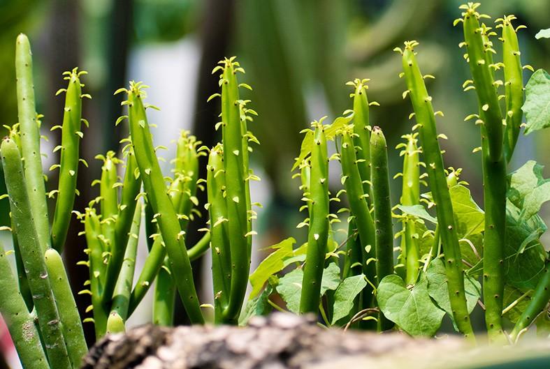como plantar cacto lapis