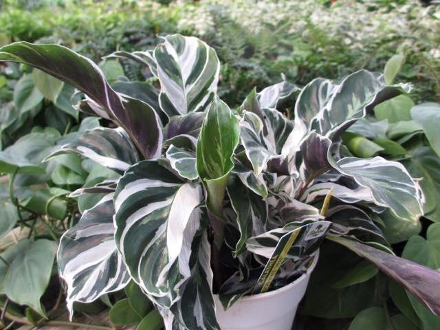 como plantar calathea