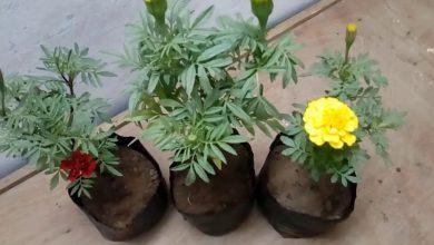 como plantar calendula
