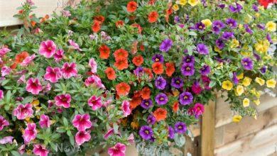 como plantar calibrachoa