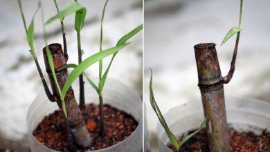 como plantar cana de acucar