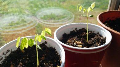 como plantar carambola em casa em 5 passos