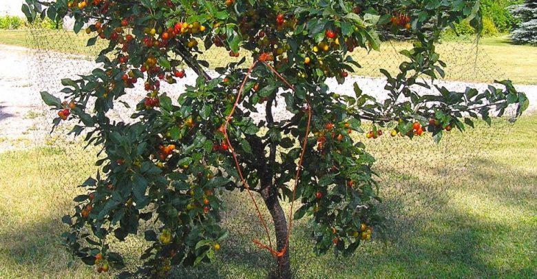 como plantar cereja em casa