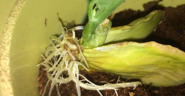 como plantar chuchu
