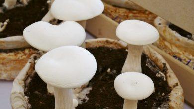 como plantar cogumelo em casa