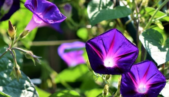 como plantar corriola