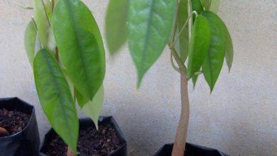 como plantar durian