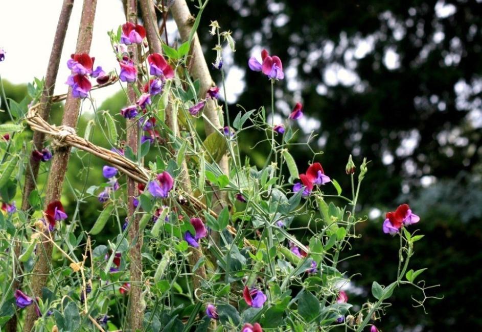 como plantar ervilha de cheiro