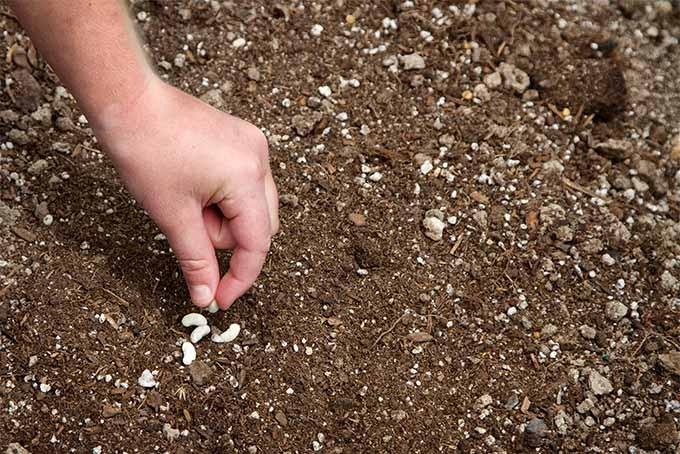 como plantar feijao na terra