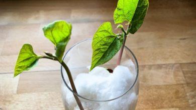 como plantar feijao no algodao em casa