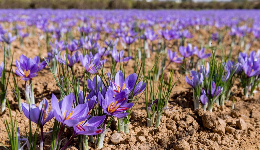como plantar flor de açafrao