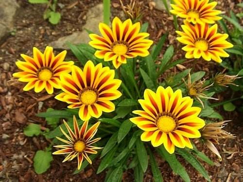como plantar flor de gazania