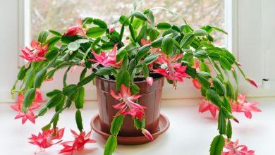 como plantar flor-de-maio