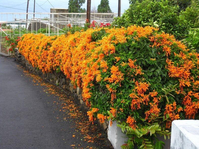 como plantar flor de sao joao
