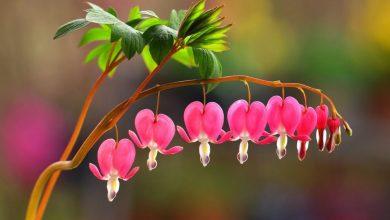 como plantar flor do coracao sangrento
