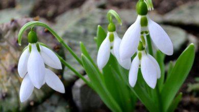 como plantar flor floco de neve