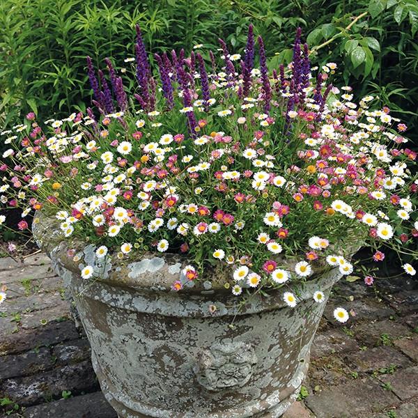 como plantar flor pulga mexicana
