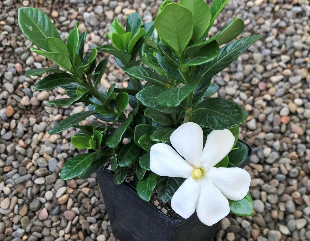 como plantar gardenia