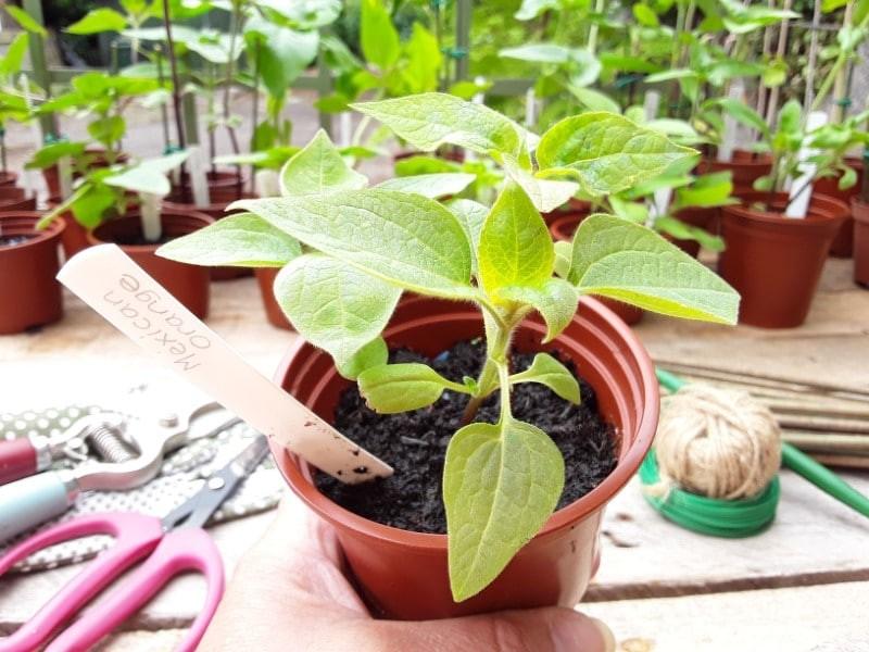 como plantar girassol mexicano