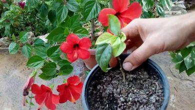 como plantar hibisco em casa
