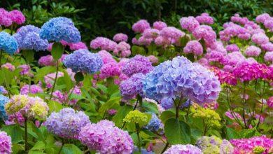 como plantar hortensia
