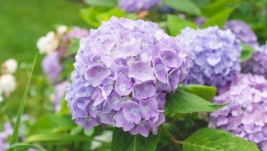 como plantar hortensia lilas