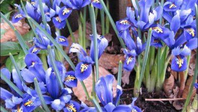como plantar iris
