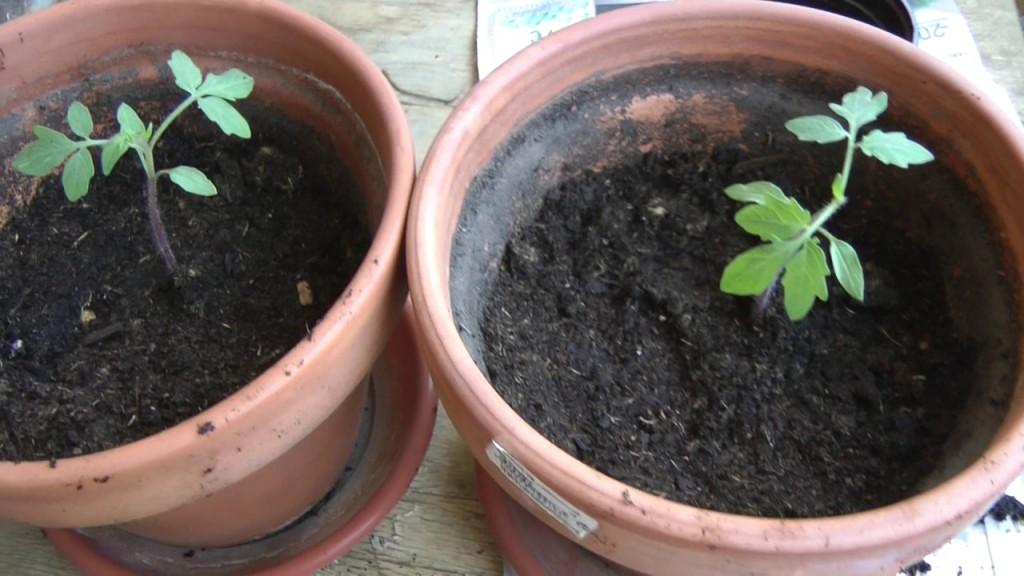 como plantar jilo