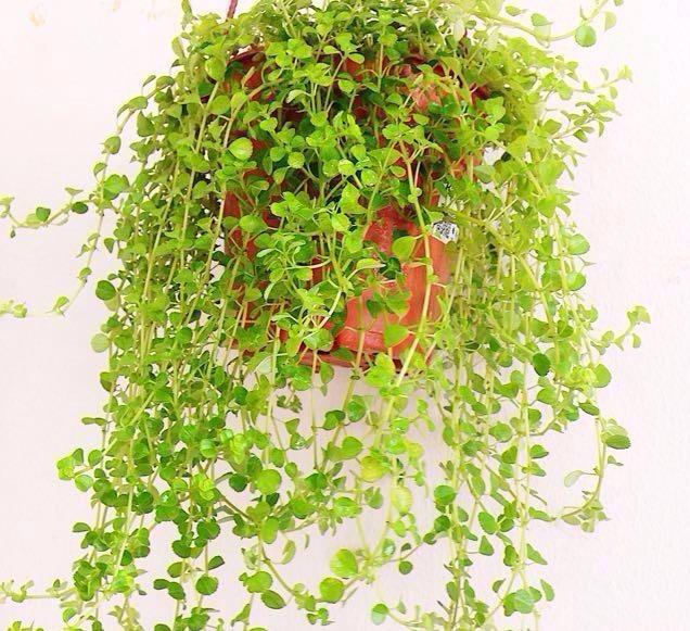 como plantar lagrimas de bebe
