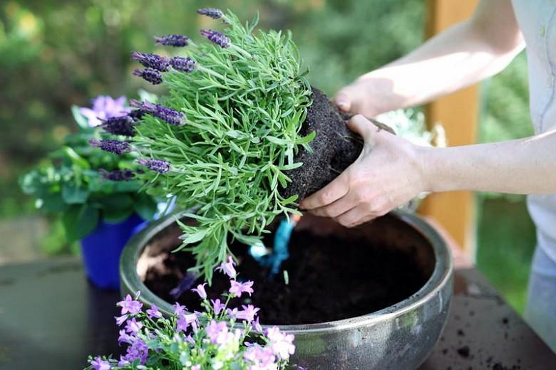 como plantar lavanda em casa