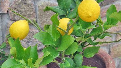 como plantar lima em casa