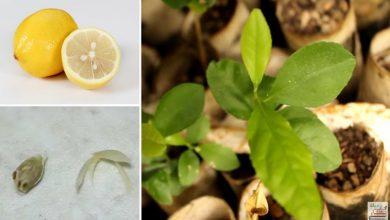 como plantar limao siciliano em casa